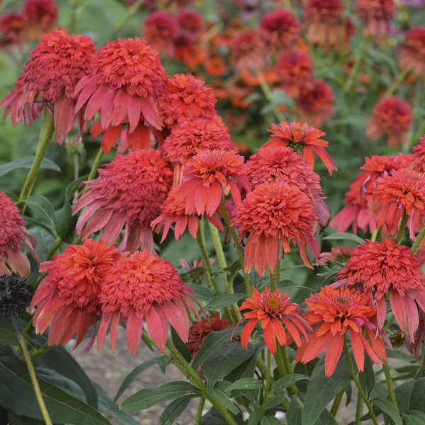 Echinacea DOUBLE SCOOP™ MANDARIN Coneflower