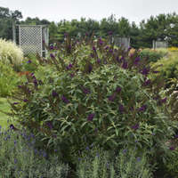 Buddleia 'Dark Dynasty'