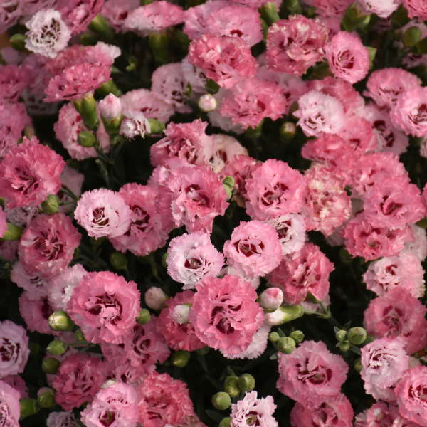 Dianthus 'Cute as a Button' Pinks