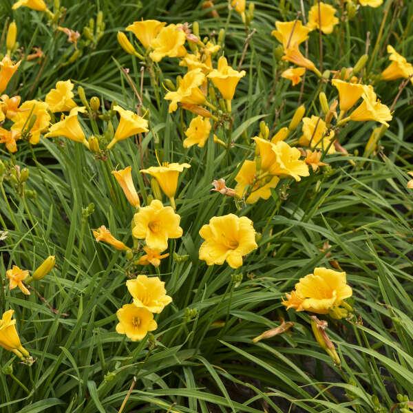 Hemerocallis 'Stella de Oro' Daylily