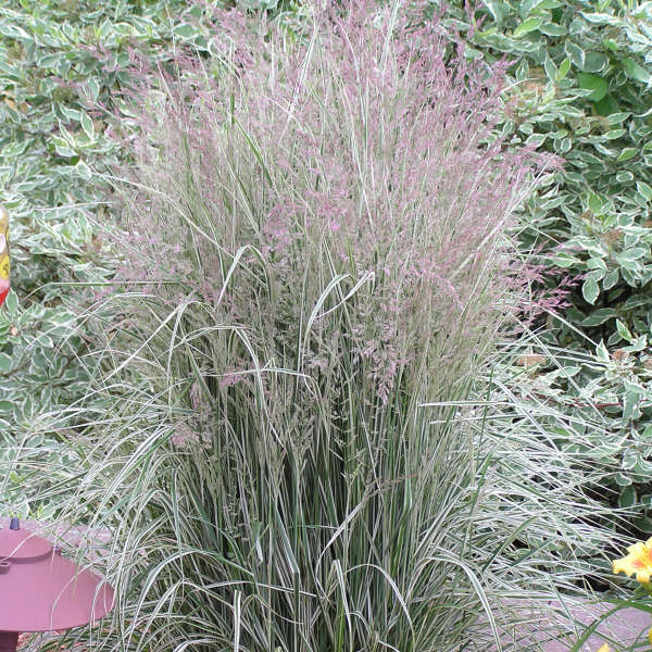 Calamagrostis 'Overdam' Variegated Feather Reed Grass
