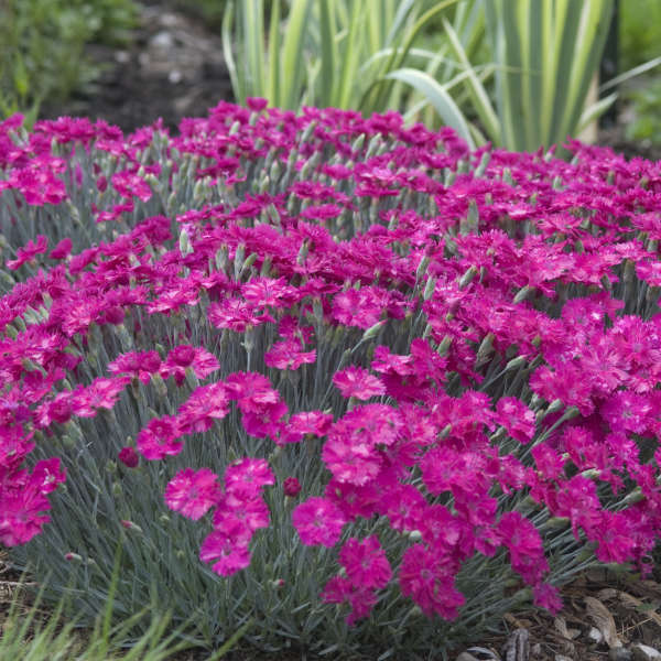 Dianthus neon star pp14549 cpbr2751 perennial resource dianthus neon star pinks mightylinksfo