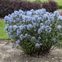 Amsonia 'Storm Cloud'