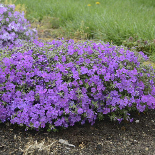 Phlox 'Purple Sprite'