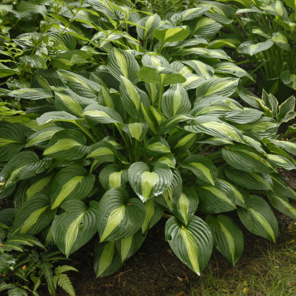 2005 - <em>Hosta</em> 'Striptease'