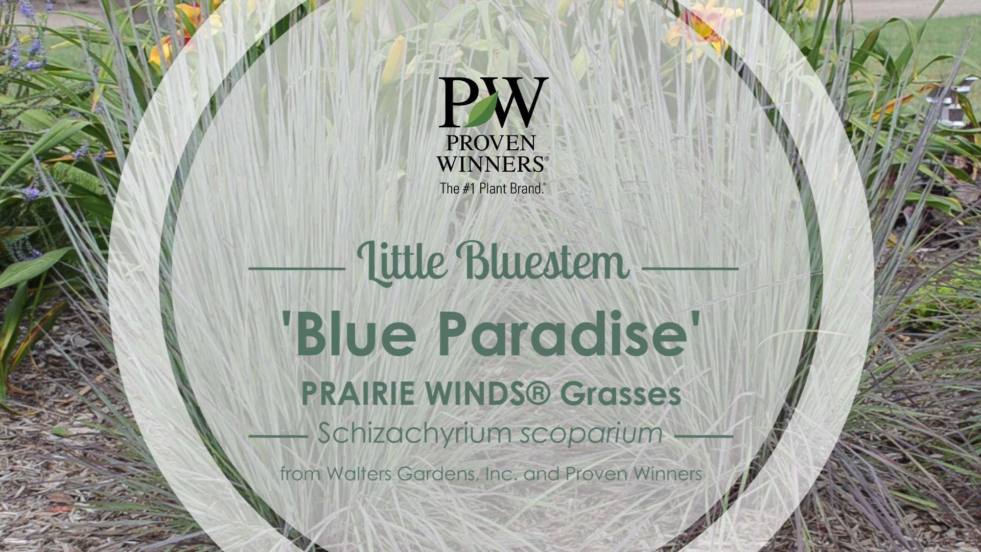 Schizachyrium 'Blue Paradise' Little Bluestem