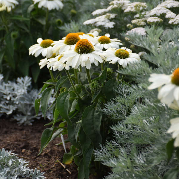 COLOR CODED™ 'The Price is White' <em>Echinacea</em>