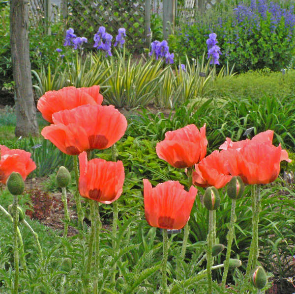 perennials for spring  perennial resource papaver orientalis oriental poppy