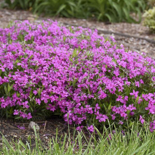 MOUNTAINSIDE™ 'Majestic Magenta' <em>Hybrid Spring Phlox</em>
