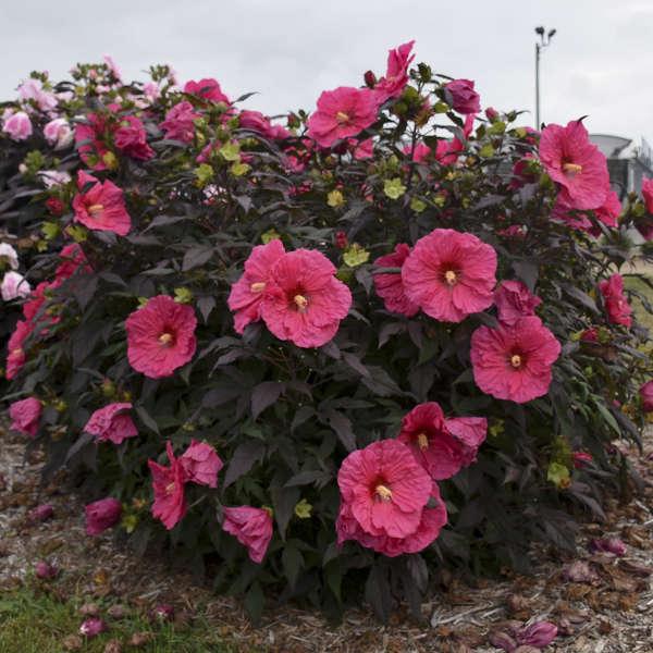 SUMMERIFIC® 'Evening Rose' <em>Hibiscus</em>