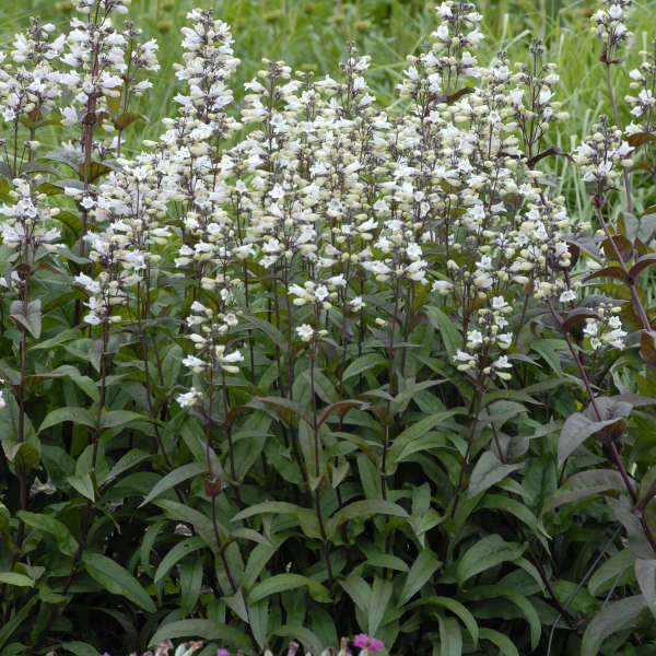 1996 - <i>Penstemon digitalis</i> 'Husker Red'
