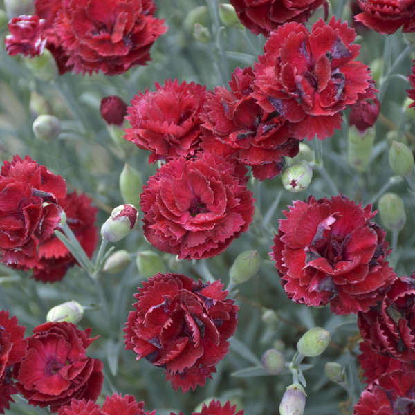 <em>Dianthus</em> 'Electric Red' - PRETTY POPPERS™ Series