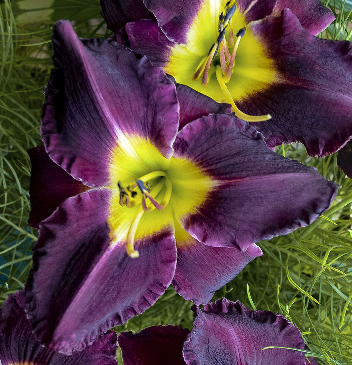 Designing with daylilies walters gardens inc hybridizers of daylilies have been able to produce varieties that have a full pallet of flower colors sizes and forms shapes include triangular circular izmirmasajfo