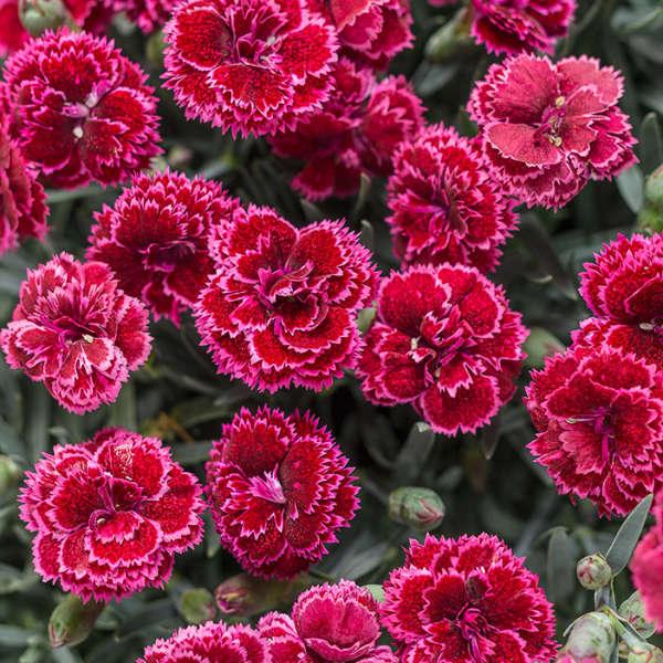<em>Dianthus</em> FRUIT PUNCH® 'Black Cherry Frost'