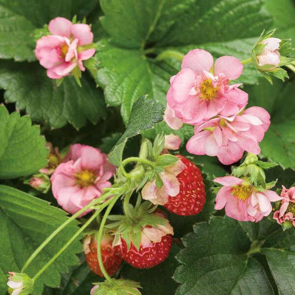 BERRIED TREASURE® Pink <em>Fragaria ananassa</em>