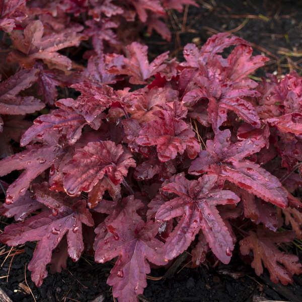 <em>Heucherella</em> FUN AND GAMES® 'Red Rover'