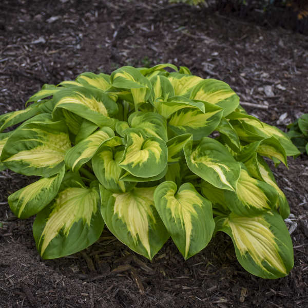 <em>Hosta</em> SHADOWLAND® 'Etched Glass'