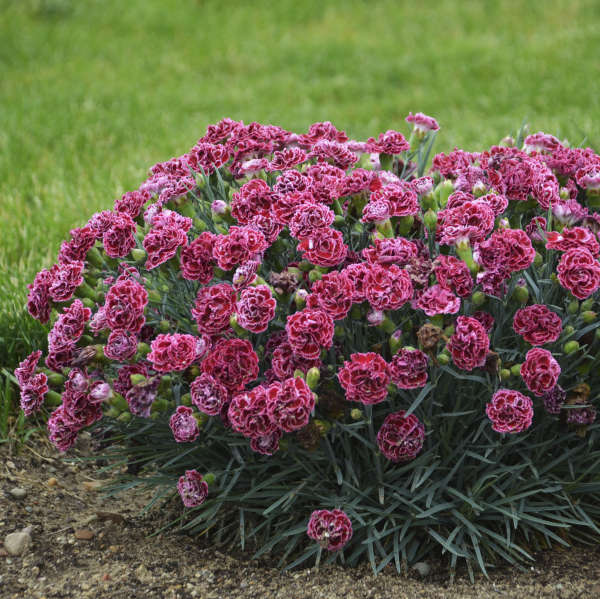 <em>Dianthus</em> FRUIT PUNCH® 'Cherry Vanilla'