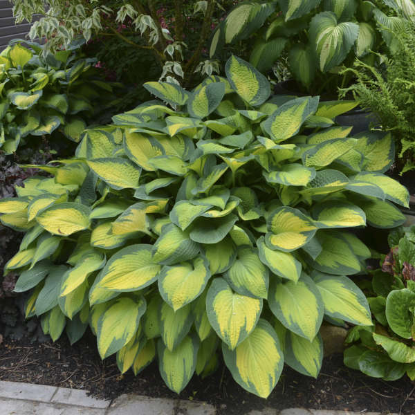 1999 - <em>Hosta</em> 'Paul's Glory'