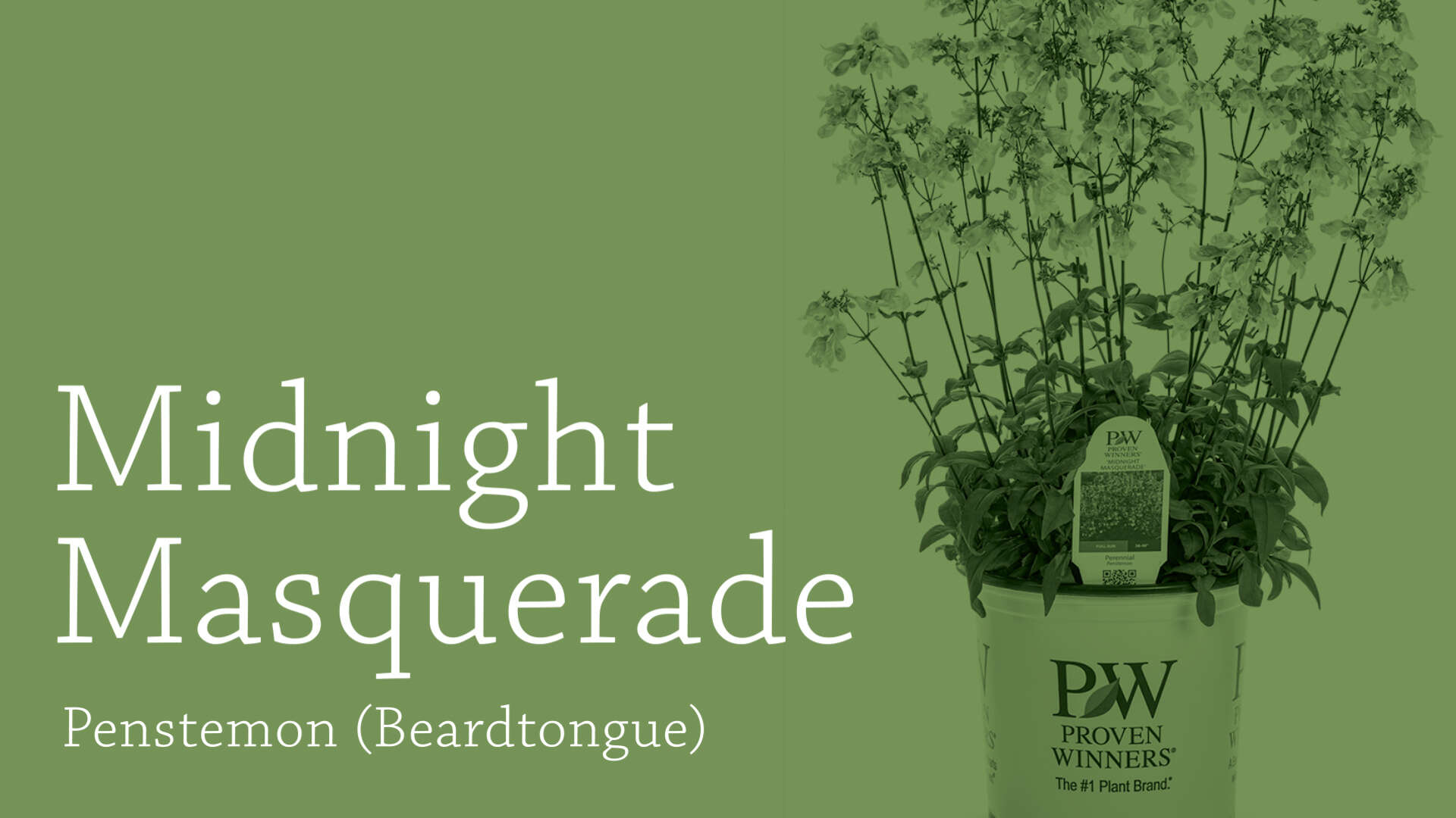 Penstemon 'Midnight Masquerade' Culture and Production Tips