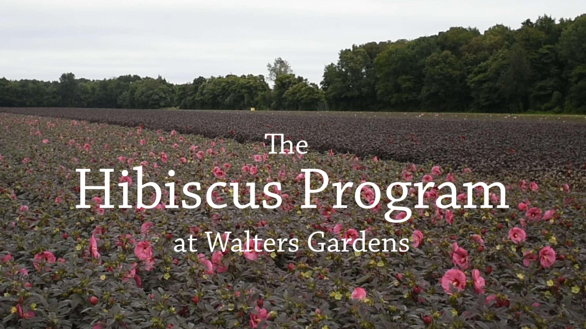 Our Hibiscus Program