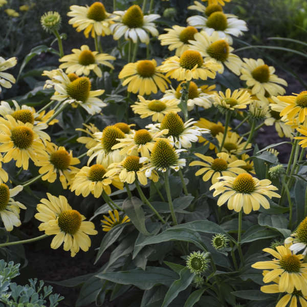 COLOR CODED™ 'Yellow My Darling' <em>Echinacea</em>