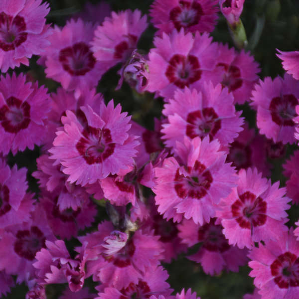 'Paint the Town Fancy' <em>Dianthus</em>