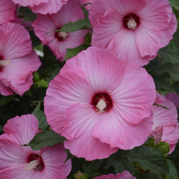 <em>Hibiscus</em> 'Airbrush Effect'