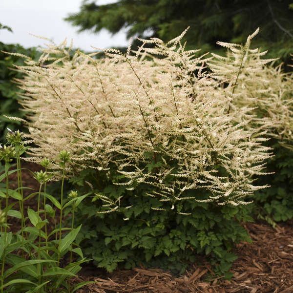 <em>Aruncus</em> 'Chantilly Lace'