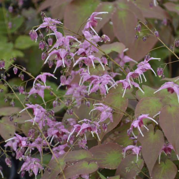 <i>Epimedium</i> 'Pretty in Pink'
