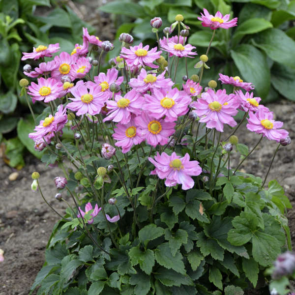 <em>Anemone</em> 'Curtain Call Pink'
