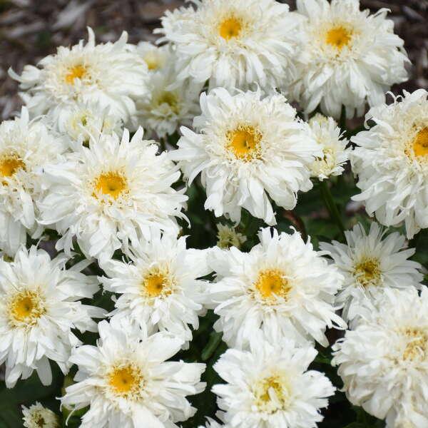<em>Leucanthemum superbum</em> AMAZING DAISIES® 'Marshmallow'