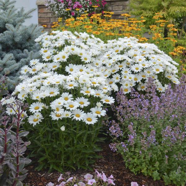 AMAZING DAISIES® Daisy May® <em>Leucanthemum superbum</em>