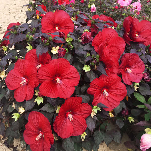 Hibiscus SUMMERIFIC® 'Holy Grail'