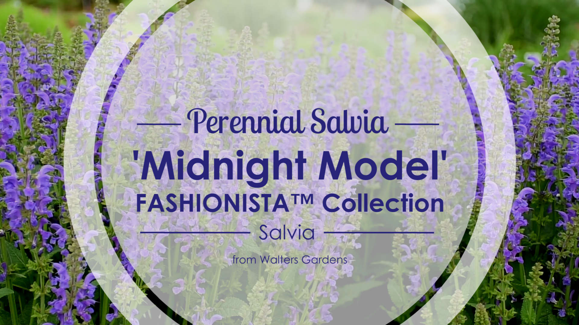 Salvia 'Midnight Model' Perennial Salvia