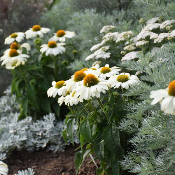 <i>Echinacea</i> COLOR CODED™ 'The Price is White'