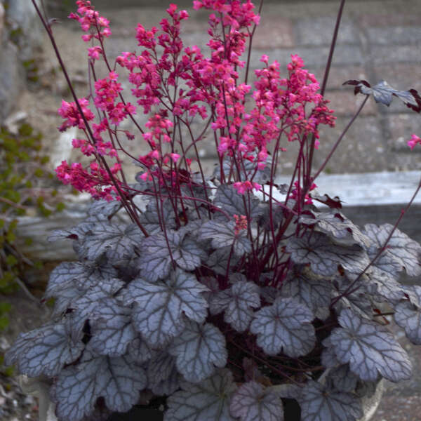 'Timeless Treasure' <em>Heuchera</em>