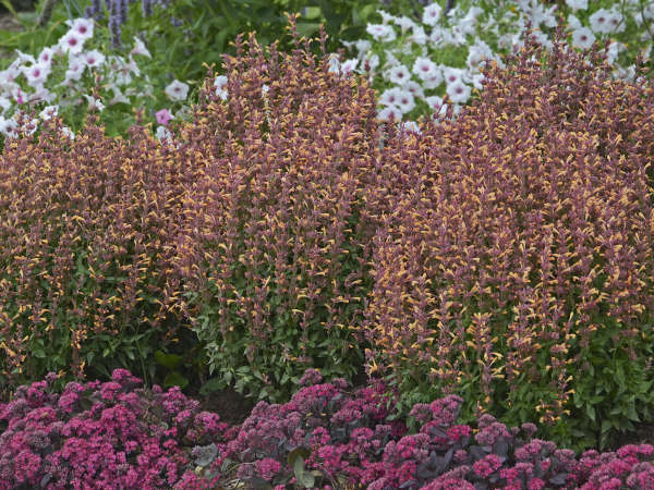 Photo Essay Deer And Rabbit Resistant Perennials Perennial