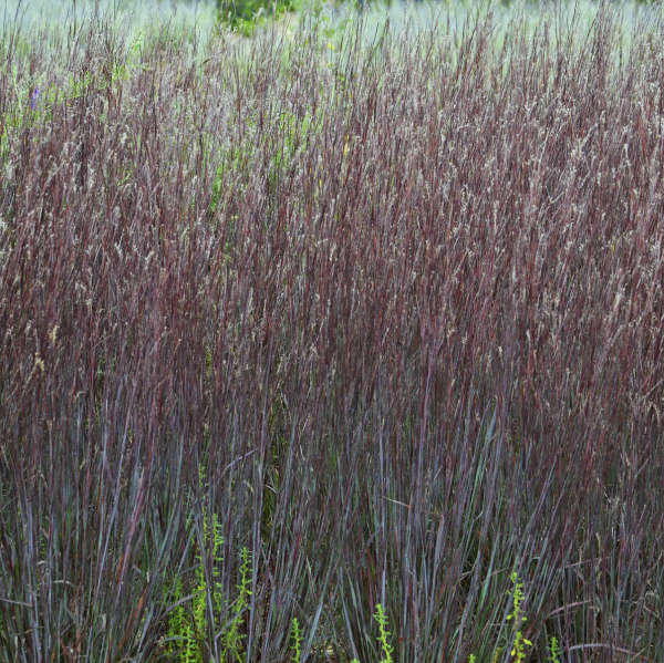 <i>Schizachyrium scoparium</i> PRAIRIE WINDS® 'Blue Paradise'