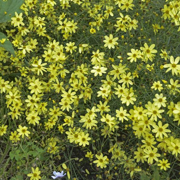 1992 - <i>Coreopsis verticillata</i> 'Moonbeam'