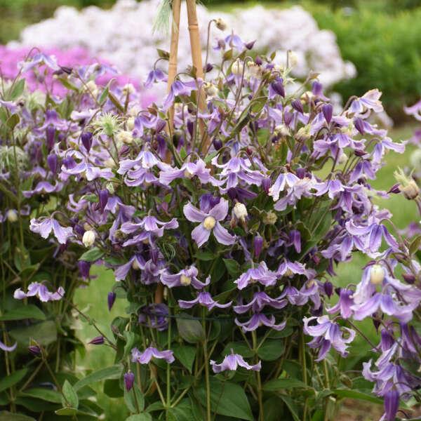 'Stand by Me Lavender' <em>Clematis</em>
