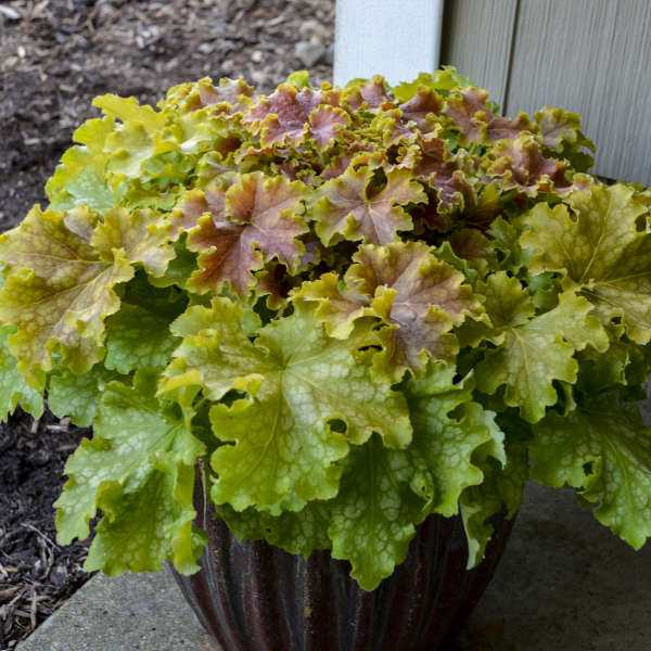 Heuchera DOLCE® 'Apple Twist'