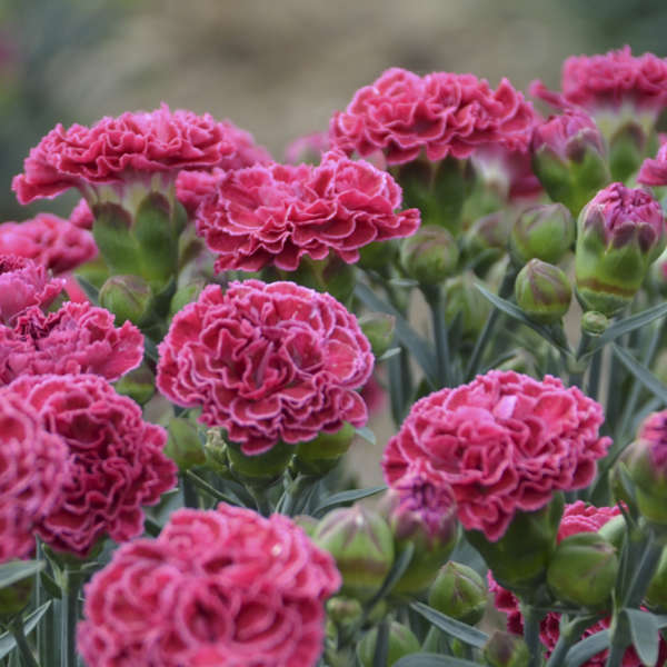 <em>Dianthus</em> FRUIT PUNCH® 'Raspberry Ruffles'