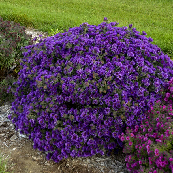 <i>Aster novae-angliae</i> 'Grape Crush'