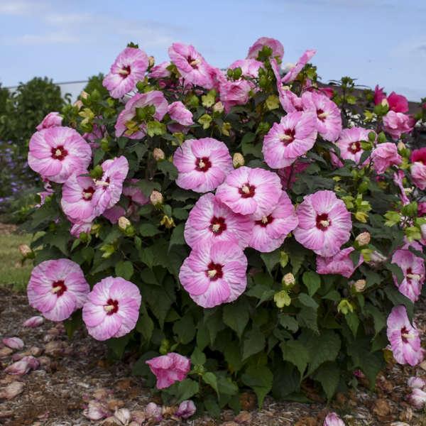 SUMMERIFIC® 'Spinderella' <em>Hibiscus</em>