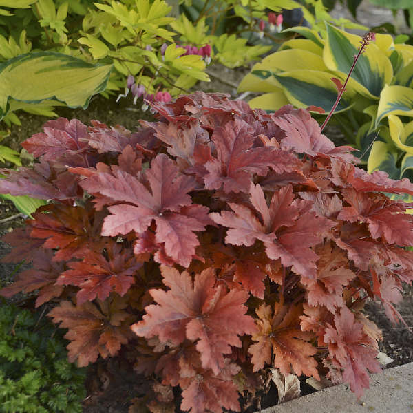 <em>Heucherella</em> FUN AND GAMES® 'Hopscotch'