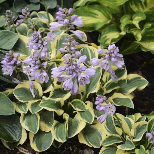 <em>Hosta</em> 'Mini Skirt'