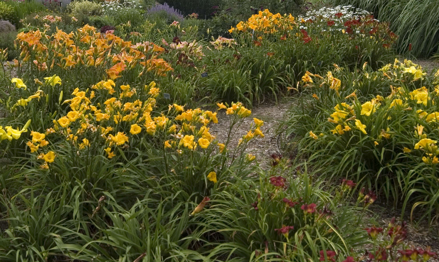Designing with daylilies walters gardens inc perhaps the most common use of daylilies is in mixed borders plantings that may border walkways fences terraces pools lawns hedges curb sides izmirmasajfo