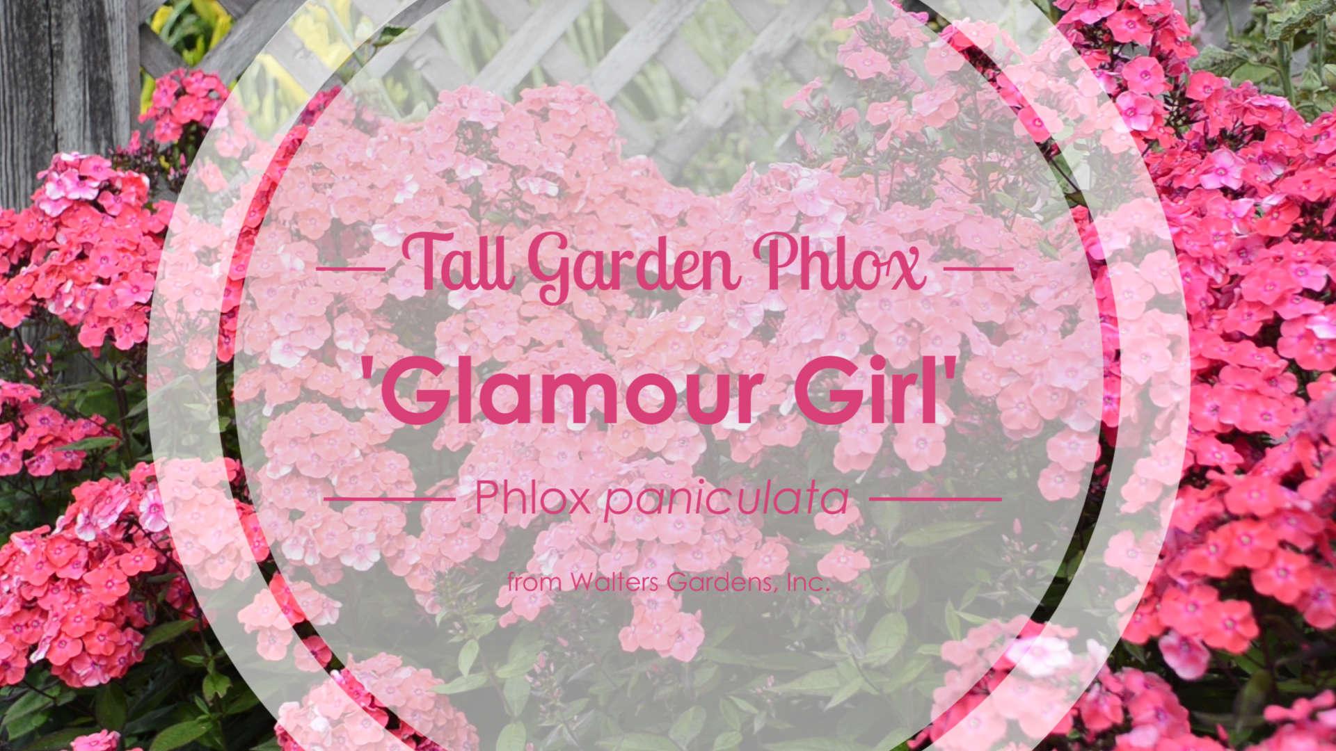 Phlox 'Glamour Girl' Tall Garden Phlox