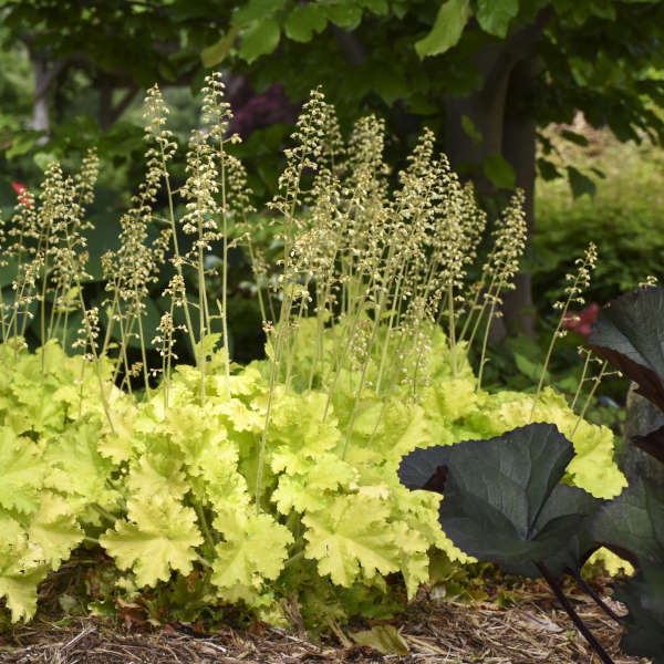 <em>Heuchera</em> 'Twist of Lime'